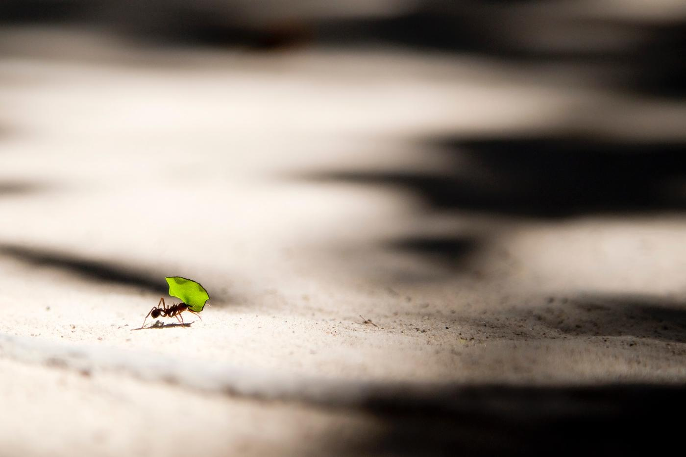 ant carrying leaf across the ground